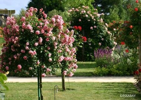 Bien choisir son rosier